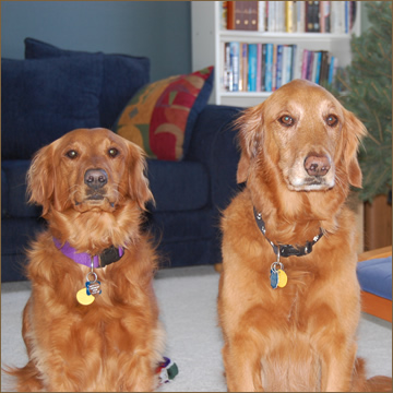 two golden labs